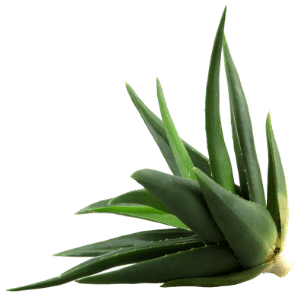 Aloe Vera is great for LED Light Therapy healing